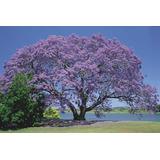 Arbol Jacaranda Plantin. Vivero Arbol Hermano. Jardin/bonsai