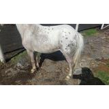 Yegua Miniatura Appaloosa - Triple Registro - Mini Pony