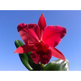 Muda Orquidea Cattleya Vermelha Riffe Red December - Nbs