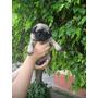 Hermoso Cachorro Pug , Criadero Peruano