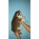 Lobos Siberiano Rojo Cachorro O Husky Siberiano