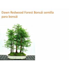 15 Semilla Para Bonsái Dawn Redwood Forest Bonsái