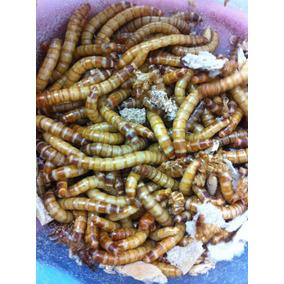 Tenebrio Molitor 200 Larvas Vivas Melhor Preço Graúdas