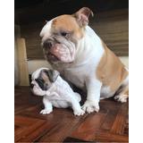 Bulldog Inglês, Filhotes, Mini Bulldogs, Buldogue Exótico