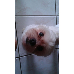 Lhasa Apso Mini43276550 Lindo Machinho P Cruzar