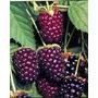Boysendberrys = Blackberry Plantines Frutos Del Bosque Raros