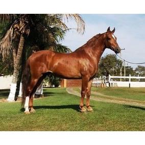 Cavalo/garanhão Mangalarga Marchador Registrado