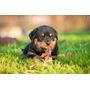 Cachorros De Raza Pura Rottweiler Garantia De Pureza