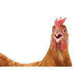 Proyecto Cría Gallinas Ponedoras Produccion Huevos Pollos 78
