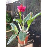 Lc Riffe Red December - Orquídea Hibrida Adulta