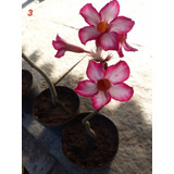 Mudas De Rosa Do Deserto - Adenium Obesum 25cm A 40cm