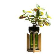 Dólar Negro Little Plant 24 Con Soporte The Little Yisus
