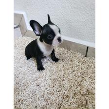 Bulldog Francés Hermosos Cachorros Con  Registro Pedigrí