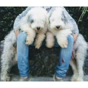 Cachorros Antiguo Pastor Inglés 100% Legítimos Calidad Viip!