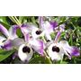 Mudas Orquídea Dendrobium Nobile - 2 Mudas Por R$10!