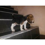 Cachorros Beagle Raza Pura