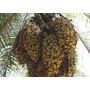 3 Mudas De Palmeira Macaíba Com 20 A 30 Cm.