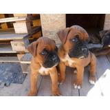 Cachorros Boxer La Mejor Reputacion 6 Cuotas S/interes