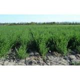 Semillas De Alfalfa De Santiago Del Esteros 20 Kilos