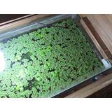 Planta De Acuario Salvinia Natans Por Porción Grande