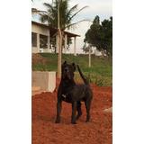 Dogo Canário