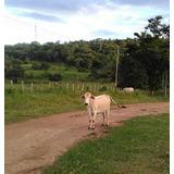 Novillas Vaca