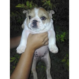 Cachorra Bulldog Ingles