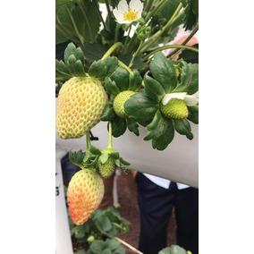 Planta De Fresa Caja De 50plantas Envio Gratis Promoción 3x2