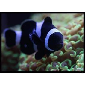 Peixe Palhaço Amphiprion Ocellaris Black 3 Cm Promoção!