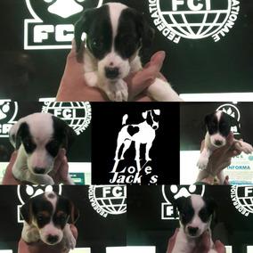 Ultimos!! Cachorros Jack Russell Terrier Fca ,pelo Liso
