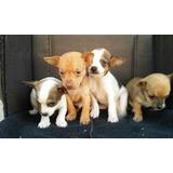 Lindos Cachorros Chihuhahua Cabeza De Venado/manzana