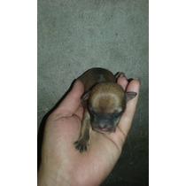 Chihuahuas Hermosos Machos Y Hembras