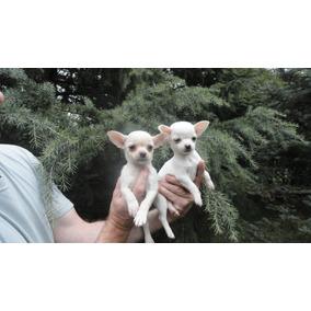 Chihuahuas Blancos Cach Mini .cabaña Scaligers
