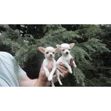Chihuahuas Blancos Cach Mini Machos Fca.cabaña Scaligers