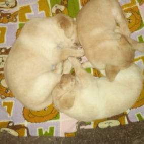 Labrador Cachorro Hembras