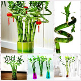 60 Sementes Bambu Da Sorte Decoração Dracaena Flor Bonsai