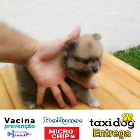 Cachorro Lulu Anao Spitz Alemao Filhote Femea Caramelo