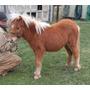 Yegua Miniatura - Caballito Mini Pony