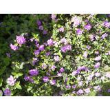 Lantana Lila Florecida (como Arbusto O Para Cerco)