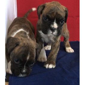 Dos Cachorros Amistosos Del Boxeador Disponibles
