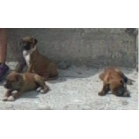 Cachorros Boxer 3 Meses Machos