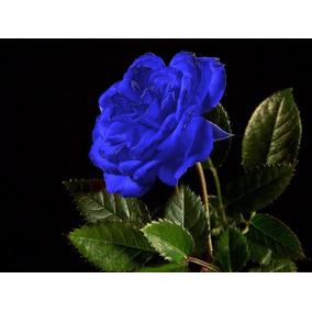 50 Sementes De Rosas Azul Raras Exóticas Pra Fazer Mudas