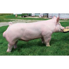 Cerdos Puercos Lechones Engorada Pie De Cria Y Vientres