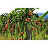Mudas Frutiferas Pitaya Vermelha Ou Branca Produzindo