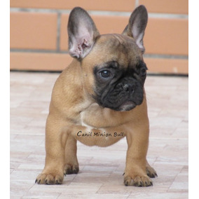 Bulldog Frances Femea Blue Gen Linda Filhote Top.