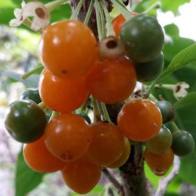 Muda De Fruta Do Sabiá Com 70cm Feita De Estaca