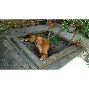 Perros Golden Cruza Con Setter Irlandés