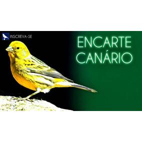 Canário Belga Canto P/ Encarte Filhotes - Cantos De Pássaros