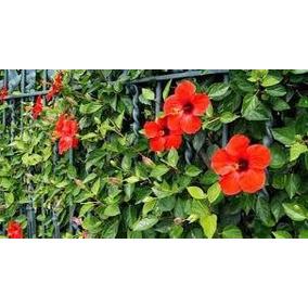 Hibisco Vermelho Sinensis - P/cerca Viva 60 Mudas 30cm