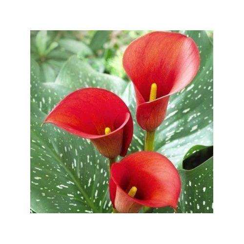 10 Bulbo Flor Copo De Leite Vermelho | R$ 6,60 Cada